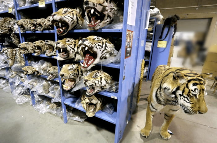 Tiger Poaching Confiscation